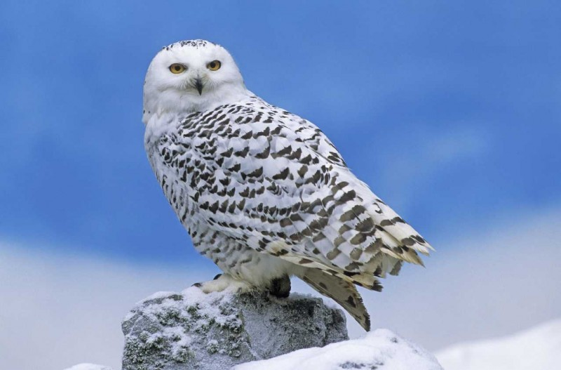 15 snowy owl-other